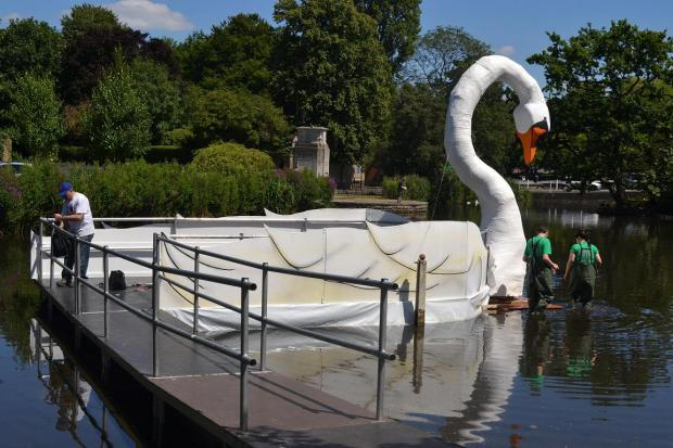 Giant swan lands on Carshalton ponds. Picture: Tim Relf